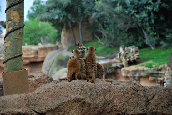 bioparc-suricatos